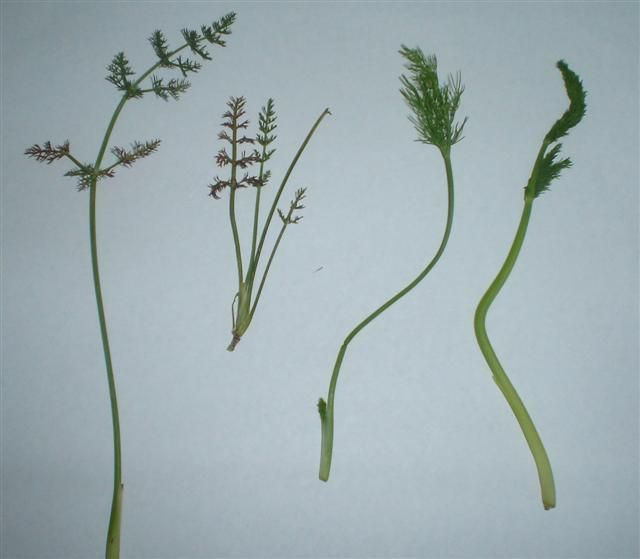 Wild Fennel - 4 types | Fennel, Plant leaves, Food