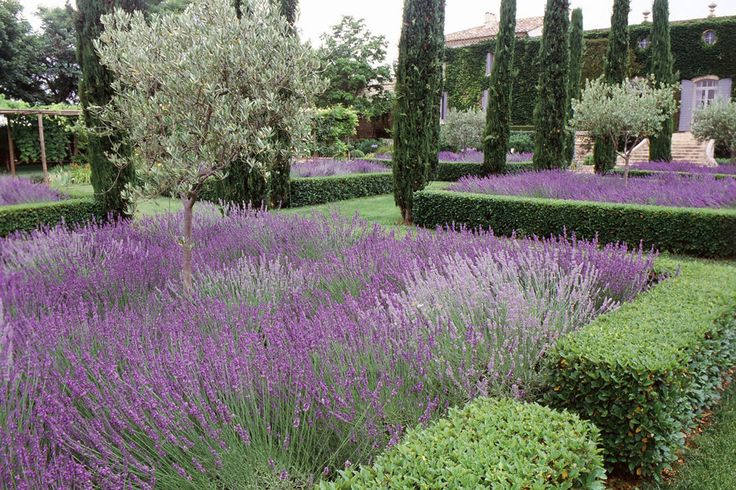 beds of lavender contained within clipped box hedges and tall spires of Italian Cypress