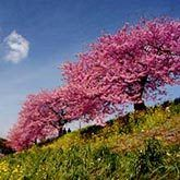 Yoshino Cherry Trees for Sale | Fast Growing Trees