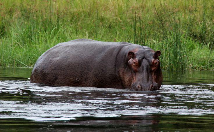 Vodní safari, hroch