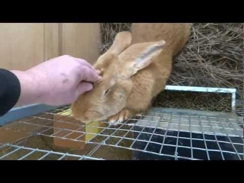 Ризен рыжий (gelb) | Племенные кролики из Европы