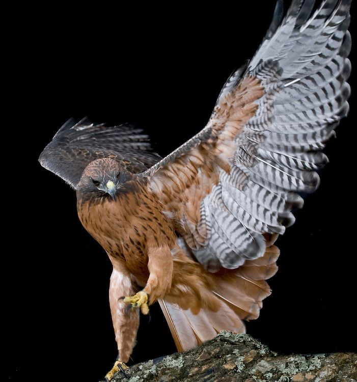 MDKern_Buteo jamaicensis - Red-tailed Hawk_177.jpg | The Gardens of Eden-Photography by Michael D. Kern