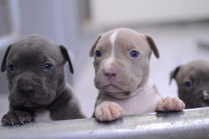 Best 25+ Baby pitbulls for sale ideas on Pinterest ... Blue Nose Pitbull Newborn Puppies