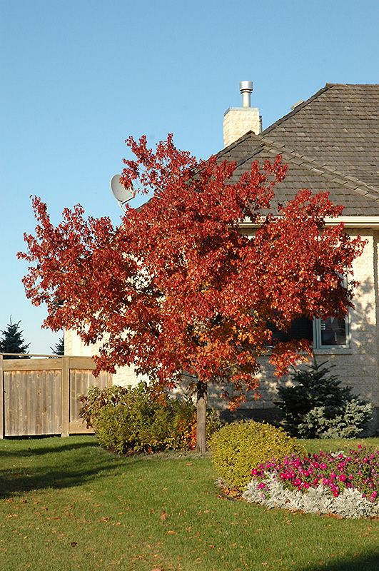 Click To View Full Size Photo Of Tatarian Maple Acer