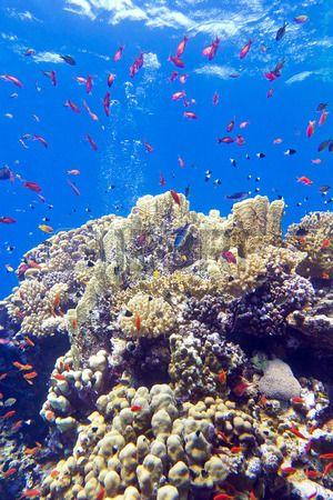colorido arrecife de coral con peces exóticos anthias en el fondo del mar tropical en el fondo de agua azul Foto de archivo