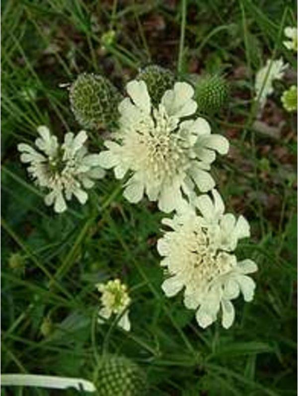Scabiosa columbaria subsp. ochroleuca