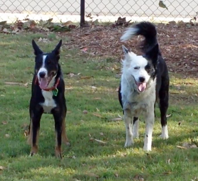 Oliver (waiting for me to throw his ball) and Tess at dog park - 14 October 2016