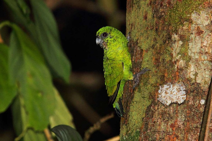 Finsch`s Pygmy Parrot or Green Pygmy-parrot (Micropsitta finschii), South Pacific / Дятловый попугайчик Финша