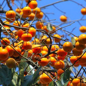 This excellent Early Golden relative is prized for its large, very sweet, attractive, bright orange fruit. John Rick American Persimmon also features strike