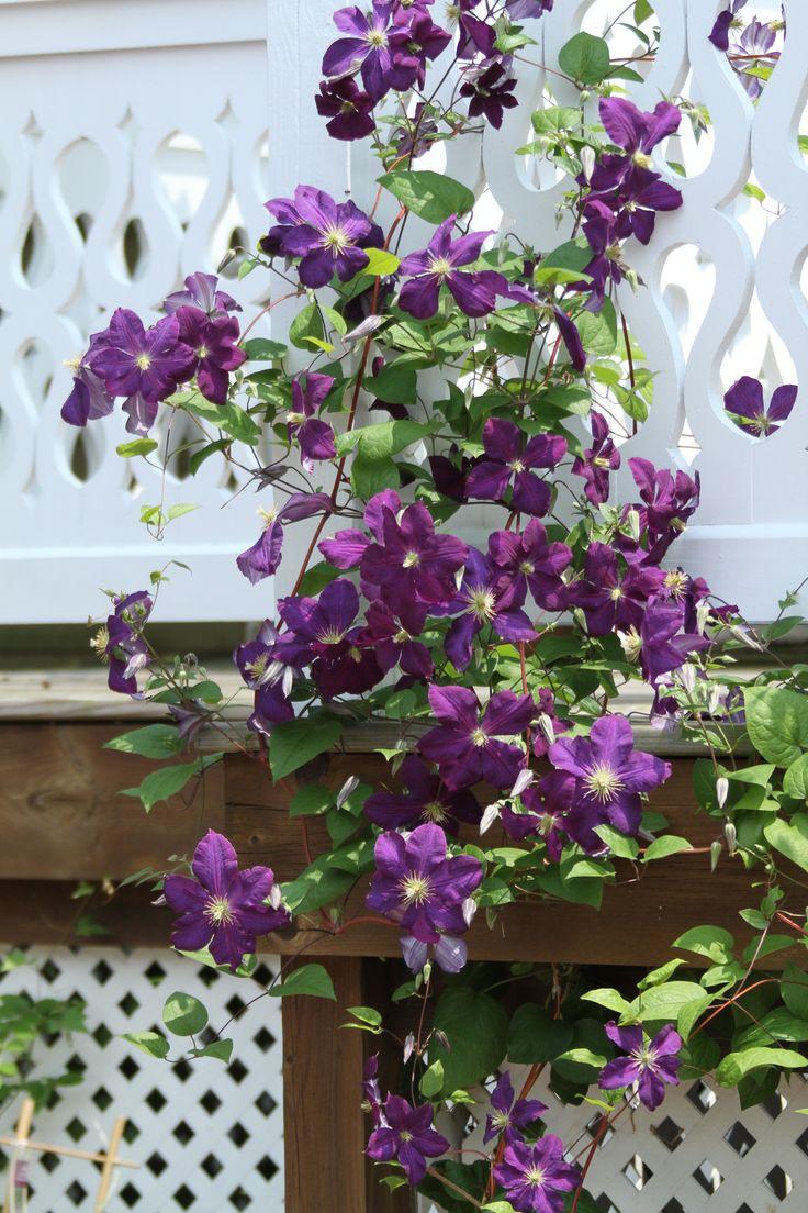 Backyard Flower Gardens - Rich purple clematis climbing up to the deck