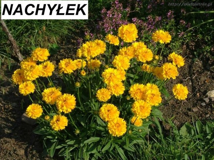 Nachyłek (Coreopsis grandiflora) - wieloletnie.pl