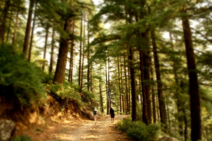 Walk into the forest at Triund Trek, Dharamsala chasing-sunsets.org