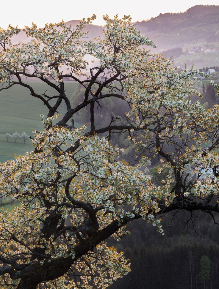 Pear Blossom by Karin Pezel on 500px