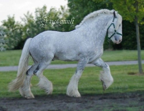 Ref for headset & trot!!! Grey Shire Horse | Clydesdale ...
