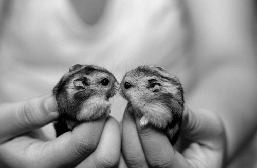 dwarf hamsters- I am getting Rhyleigh these!! soo adorable <3