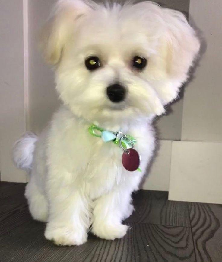 Kobe the maltese this boy tho baby maltese puppy