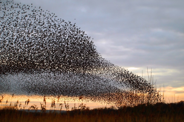A Starling murmuration swoops down over the Somerset Levels