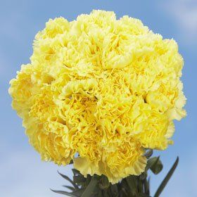 Best Yellow Carnations | 100 Yellow Carnations - http://yourflowers.us/best-yellow-carnations-100-yellow-carnations/