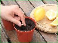 Как вырастить лимонное дерево в чашке.