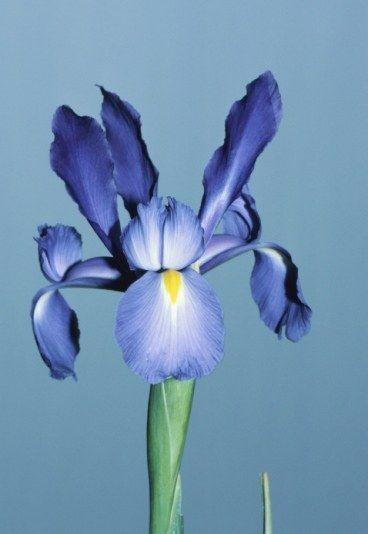 Iris  Vous enchantez mes jours  Dans le langage des fleurs l'iris est un symbole d'amour.  Iris blanc : Cœur tendre, je t'aime avec confiance. Iris bleu : Cœur tendre, je t'aime tendrement. Bonne nouvelle imminente. Iris jaune : Cœur tendre, je t'aime avec bonheur. Iris mauve : Tes yeux m'affolent. Désir de séduire la personne aimée. Iris rouge : Amour ardent. Iris flammé : Je brûle d'amour pour toi.