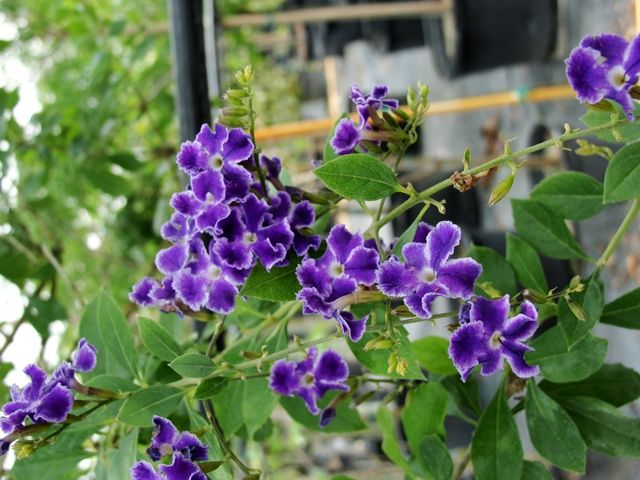Purple Flowering Trees | Purple Flower Tree Florida Pictures