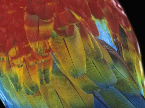 Scarlet Macaw Feathers, Ara Macao, Amazonas, Brazil, South America Photographic Print by Arthur Morris at Art.com