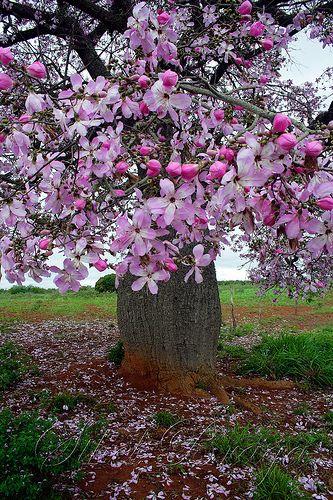 Árvore Florida - Barriguda by Sthel Braga, via Flickr Em todas as coisas da natureza existe algo de maravilhoso. Aristóteles