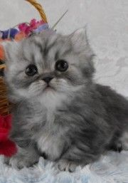 Napoleon Kittens | The cutest Napoleon kittens for sale from Napoleon cat breeders based ...