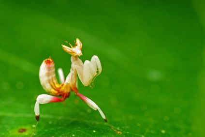 The orchid mantis (Hymenopus coronatus) is a stunning