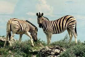 Afbeeldingsresultaat voor zebra knutselen