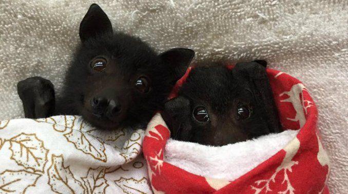 """Estos cachorros revolucionaron la web con su ternura .Son una especie de murciélagos que comen frutas """"zorros voladores"""" Australia, Mundo"""