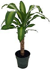Indoor corn plant care tips for this easy-to-grow corn house plant. Find out how to water, fertilize and prune corn plant. Picture, profile and care tips here.