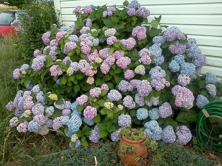 1000 Images About Hydrangeas Or Snowball Bush On Pinterest