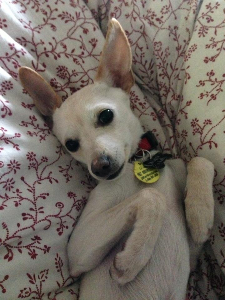 *Adopted* ALLIE: Chihuahua/Italian Greyhound mix, 7 months ...