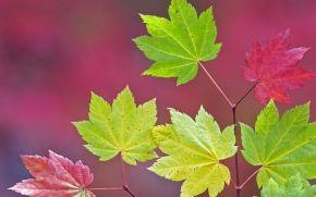 autunno, ramo, fogliame, acero