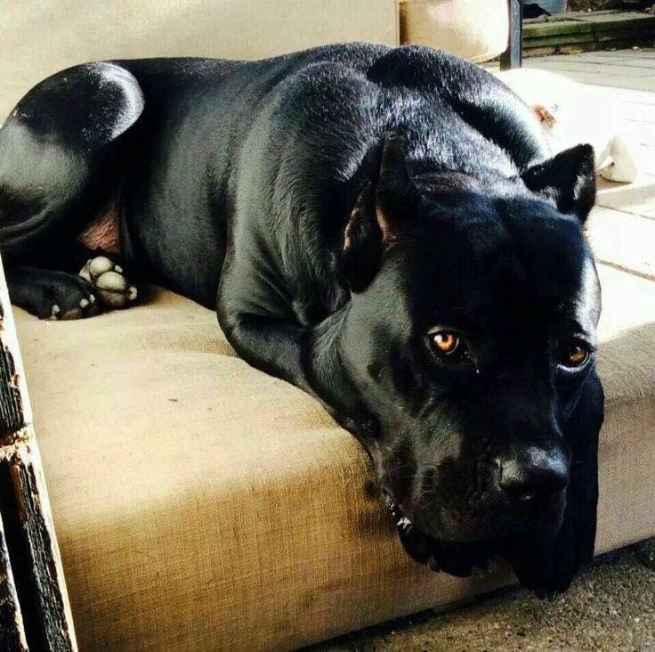 """Cane Corso. Literally, """"street dog"""" in Italian - but these big dogs have been treasured companions in Italy for years! Also known as the Italian mastiff."""