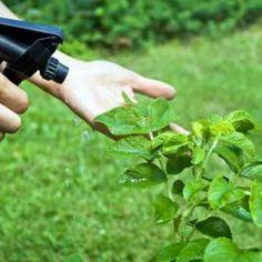 Insecticida, repelente y fungicida, casero y ecológico Como hacer insecticida, fungicida, bactericida y nematicida casero y ecológico contra diversas plagas como: Mosca Blanca (Bemisia tabaci), Pulgones, Ácaros, Araña roja (Tetranychus urticae), Cochinillas, Trips, Melazas/Negrilla (subproductos de insectos), Algodón del Olivo (Euphyllura olivina), Serpeta (Lepidosaphes ulmi), Gusano del manzano (Carpocapsa), Mariposa de la Col (Pieris brassicae), Mosca de la cebolla (Delia antiqua), ...