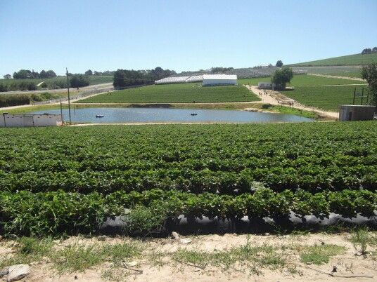 Strawberry farm 1