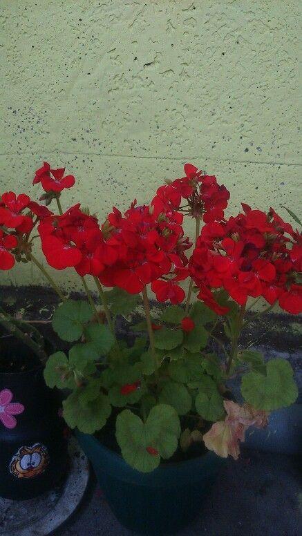 Mis cardenales