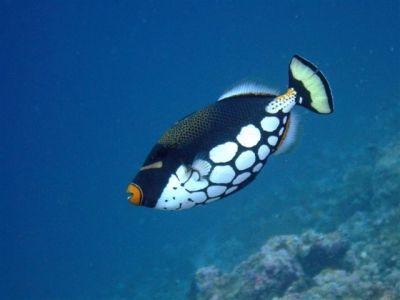 Aux Maldives - - Votre plus belle photo de poisson tropical