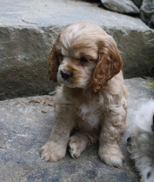 Adorable blonde cocker spaniel puppy (not mine but sure looks like her).