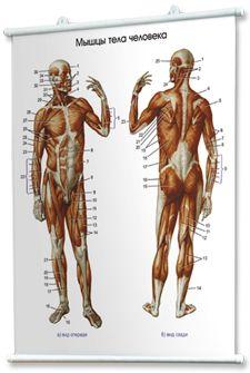 Наглядные пособия: учебные плакаты по медицине. Плакат нормальная анатомия человека