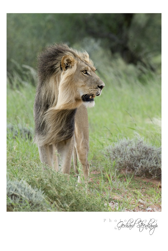 Male Lion at Rooiputs, Kgalagadi Transfrontier Park, South Africa