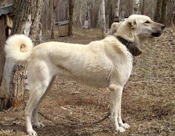 perro turco kangal
