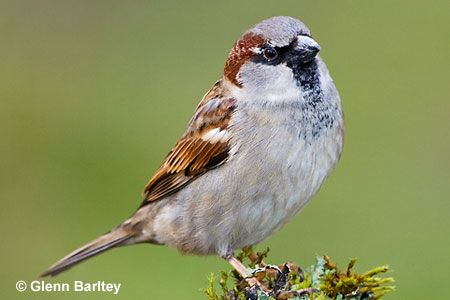 House Sparrow; Chicago, IL; 9.14.14