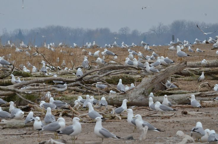 The Ring-billed Gull Colony at Tommy Thompson Park, Toronto, April 2015