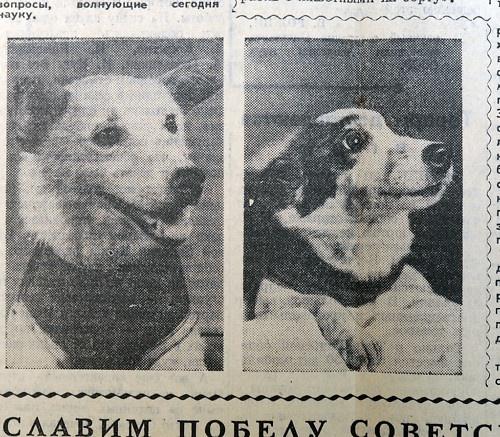 Russian IZVESTIJA vintage newspaper. 1960 , August 21  - USSR RUSSIA - Russian Space Dogs , Sputnik-2 , BELKA & STRELKA Space Flight.