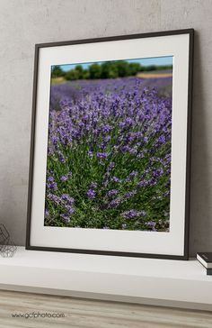 A farmhouse decor lavender art print, French style, fine art photograph for wherever you want a touch of colour and style in your home. Brightly coloured lavender in a field in the south west of France. Click through to see in more detail!