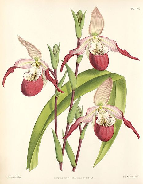 Orchid album: comprising coloured figures and descriptions of new, rare and…