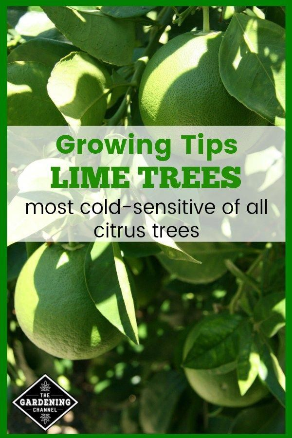 If You Don T Live In A Warm Climate Try Growing Lime Trees Indoors Learn How To Grow Lime Trees With These Gardeni Lime Tree Growing Fruit Trees Citrus Trees